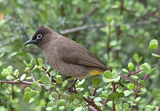 Cape bulbul - In Addo Elephant National Park, Eastern Cape, South Africa