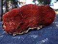 Pycnoporus cinnabarinus BW43 (2).jpg