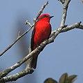 Pyrocephalus rubinus, Bertioga - SP - Brasil.jpg