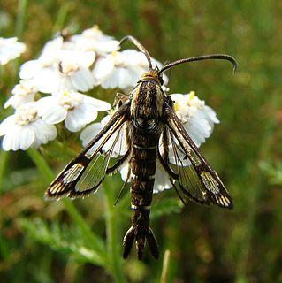 <i>Pyropteron triannuliformis</i> Species of moth