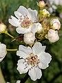Pyrus pyrifolia (Raja) blossom7crop.jpg