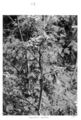 Queensland State Archives 4282 Hemlock plant Gatton 1950.png