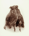 Queensland State Archives 5091 Quail Synoicus Australis 21 June 1894.png