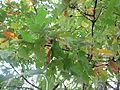 Quercus cerris Bosilegrad 5.JPG