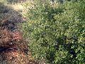 Quercus coccifera3p.jpg