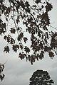 Quercus pagoda (24142130776).jpg