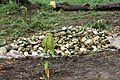 Récolte de Cucumeropsis mannii à Tayap.jpg