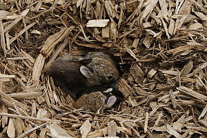 English: Rabbit nest found in playground wood ...