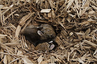 Rabbit (zodiac) - A nest containing baby Rabbits