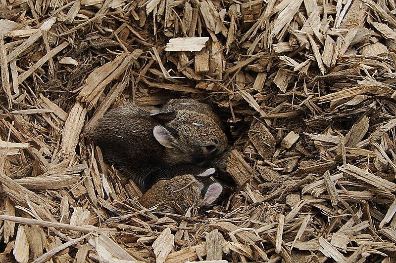 File:Rabbit nest.JPG