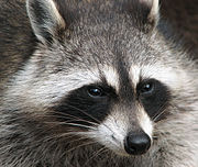 Close-up of a raccoon's face.