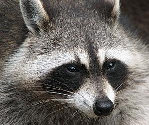Raccoon (Procyon lotor).