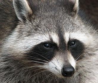 Raccoon - MacClintock