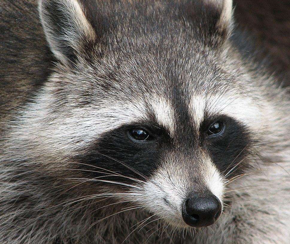 Raccoon (Procyon lotor) 2