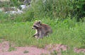 Raccoon (Procyon lotor) eating I.png
