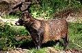 Raccoon Dog01.jpg