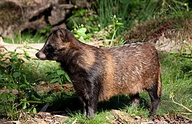 Raccoon Dog01.jpg