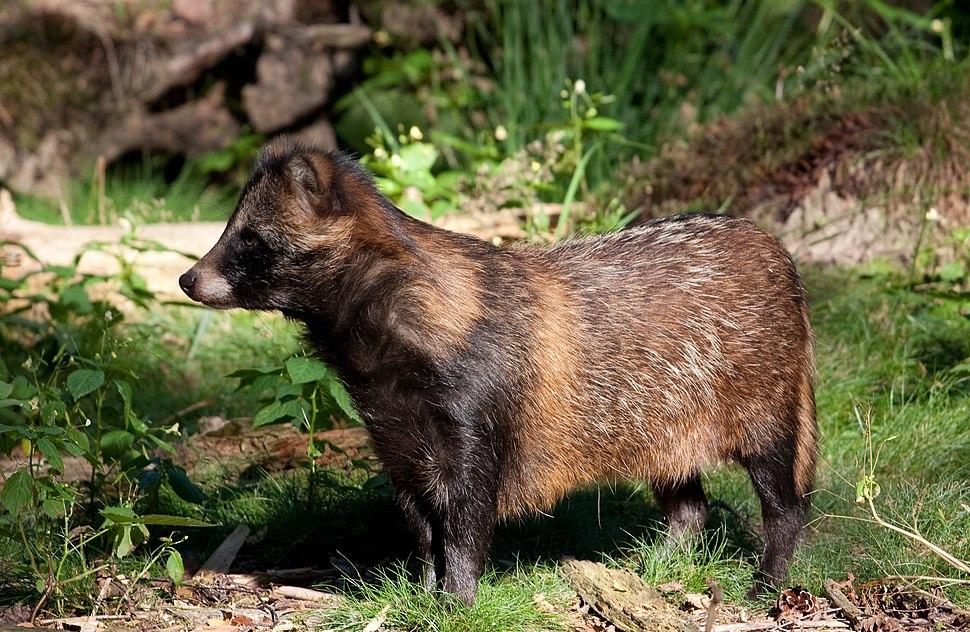 Raccoon Dog01
