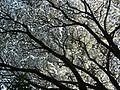 Rain tree (2208934519).jpg