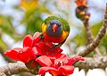 Rainbow Lorikeet with Red Silk Cotton Flowers - AndrewMercer IMG41440.jpg