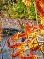 Rainbow lorikeet and Aloe sp Brisbane Botanic Gardens Mt Coot-tha P1030133.jpg