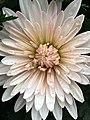 Raindrops on chrysanthemum.jpg