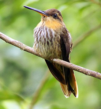 Hermit (hummingbird) - The saw-billed hermit (Ramphodon naevius) is among the most primitive living hummingbird species.