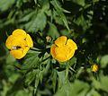 Ranunculus acris var. nipponicus (Mount Shirouma).JPG
