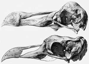 Raphinae - Skulls of the dodo and Rodrigues solitaire, the latter having been scaled up for comparison