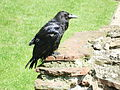 Raven, Tower of London.JPG