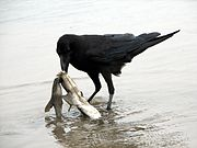 Raven scavenging on a dead shark.jpg