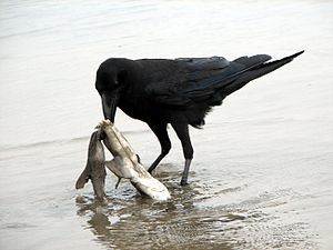 Corvidae - Corvids are highly opportunistic foragers. Here a jungle crow feeds on a shark carcass.