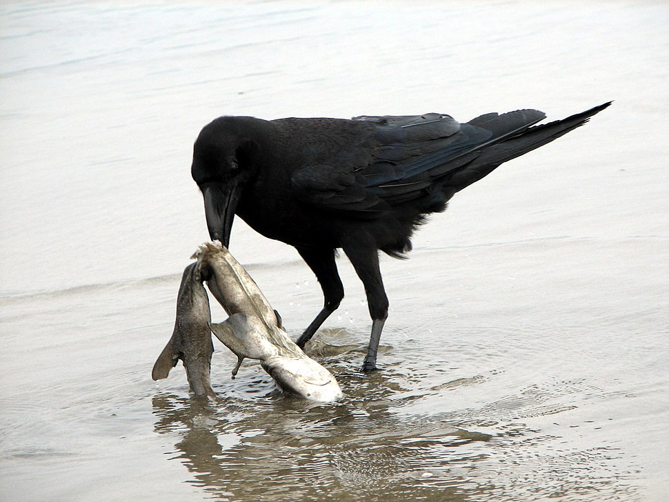 Raven scavenging on a dead shark