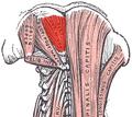 Rectus capitis posterior minor.png
