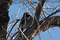 Red-breasted Sapsucker RBSA stake-out near Paton's AZ 2018-01-25 10-31-02 (39944781471).jpg
