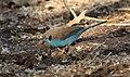 Red-cheeked Cordon-Bleu (Uraeginthus bengalus) (31648662997).jpg