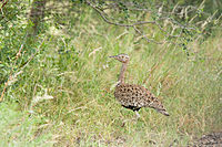 Red-crested Korhaan 2373303625.jpg