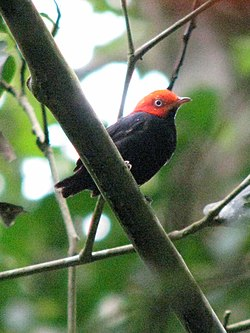 Red-headed Manakin (Pipra rubricapilla) (8170151405).jpg