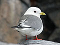 Red-legged Kittiwake RWD1.jpg