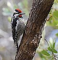 Red-naped Sapsucker (33214043974).jpg