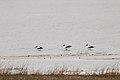 Red-necked Avocets (20425774183).jpg