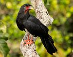 Red-throated Caracara.jpg