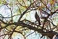 Red-winged blackbird (44301186464).jpg