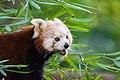 Red Panda (23647950588).jpg