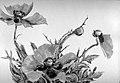 Red Poppies MET sf1983.40.jpg