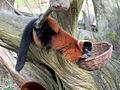Red Ruffed Lemur (6488535937).jpg