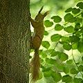 Red squirrel (49969620412).jpg