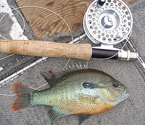 Redbreast sunfish - Typical redbreast sunfish from the Tallapoosa River, Alabama (released)