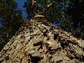 Redgum perspective bark tree.jpg