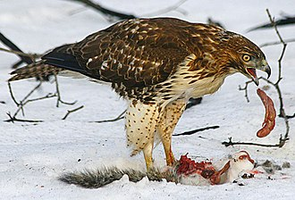 Red-tailed hawk - Juvenile eating a squirrel